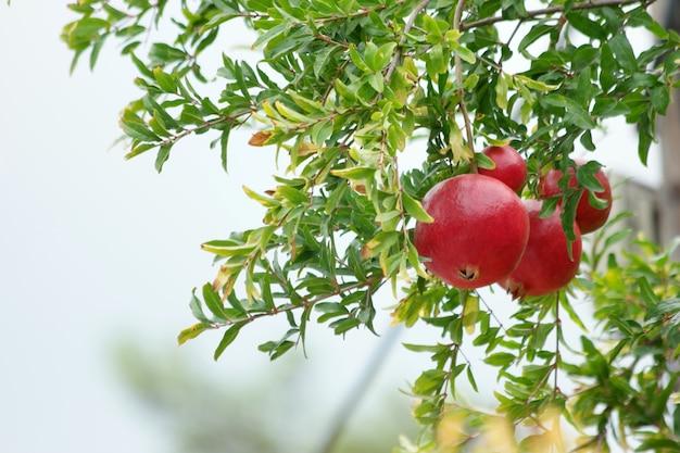 Ripening of pomegranate fruits on tree. Premium Photo