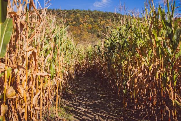 Дорога в середине поля сахарного тростника в солнечный день с горой в спине Бесплатные Фотографии