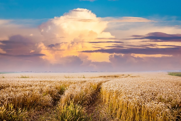 The road is among the wheat field. scenic clouds over the wheat field during the sunset. summer landscape Premium Photo