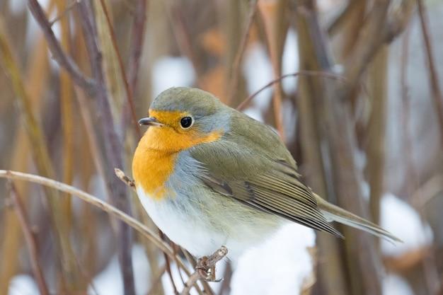 Robin on a branch Premium Photo