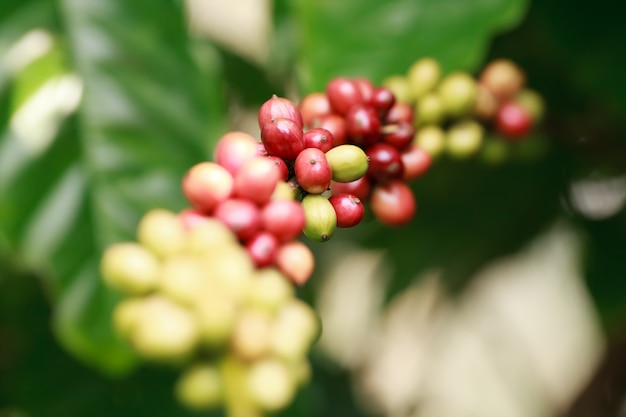 Robusta coffee farm and plantation on the south mountain of thailand. Premium Photo