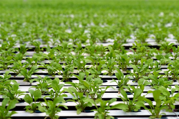 Rocket salad planting by hydroponics system Premium Photo