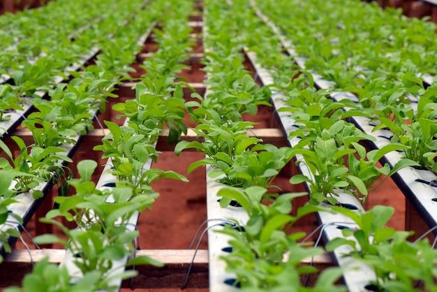 Rocket salad planting by hydroponics system Premium Photo
