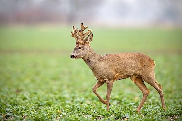 Косуля, capreolus capreolus, олень с большими рогами, покрытыми бархатной походкой. Premium Фотографии