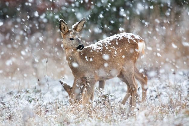 冬の吹雪の中の野原で観察するノロジカ Premium写真