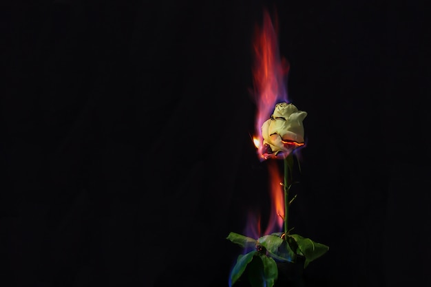 Rose in fire. beautiful photo of a white rose on fire Premium Photo