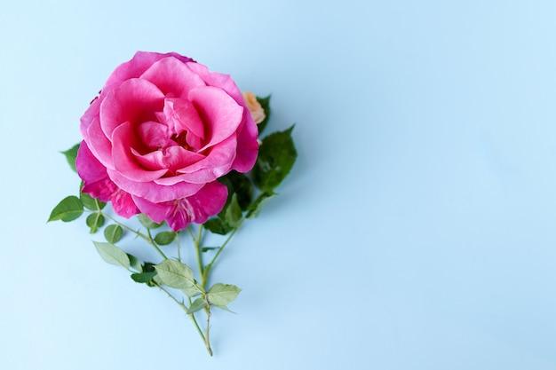 パステル調の青い背景にバラの花。バレンタインの日、母の日、女性の日、春夏のコンセプトです。平置き、コピースペース Premium写真