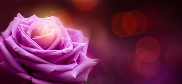 Rose purple red valentines day bokeh banner Premium Photo