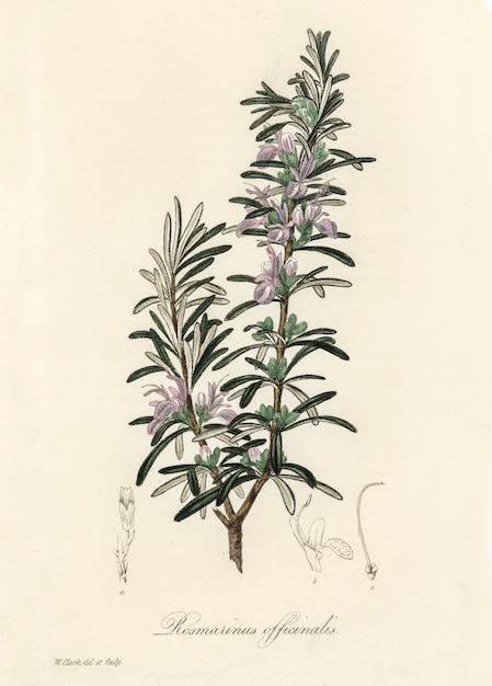 Rosemary (rosmarinus) officinalis illustration from medical botany (1836) Free Photo