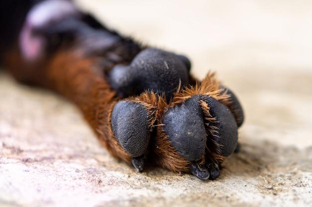 Ротвейлер породы собак лапы крупным планом Premium Фотографии