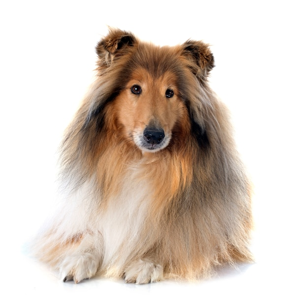 Rough collie Premium Photo