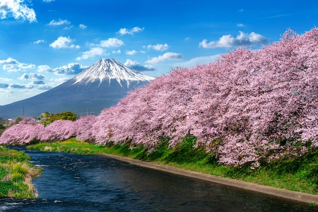 Row of cherry blossoms and fuji mountain in spring, shizuoka in japan. Free Photo