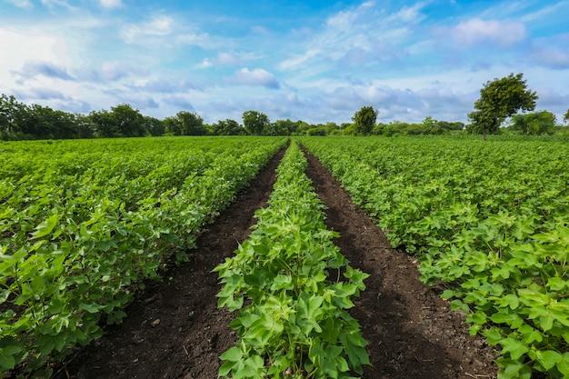 インドで成長している緑の綿畑の行。 Premium写真