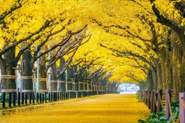 가 노란 은행 나무의 행입니다. 일본 도쿄의 가을 공원. 무료 사진