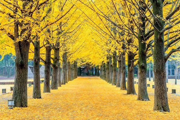 韓国、南怡島の黄色い銀杏の木の列 無料写真
