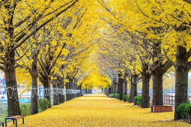 牙山、韓国の黄色い銀杏の木の列 無料写真