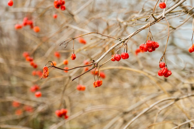 Rowan berries in autumn Premium Photo