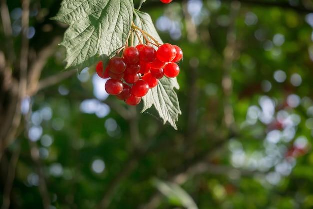 Rowan branches with berries Premium Photo