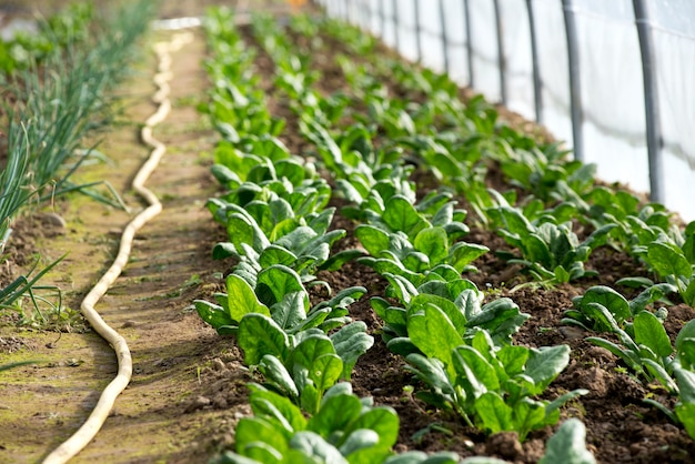 Rows of little spinach growing in greenhouse Premium Photo