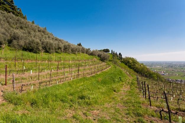 丘の上のブドウの木とオリーブの木の列 Premium写真