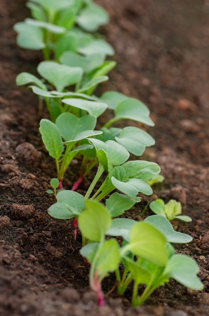 Rows of radish seedlings in the garden. organic healthy food from your own garden. Premium Photo