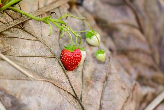 Rows of strawberries in a strawberry farm Premium Photo