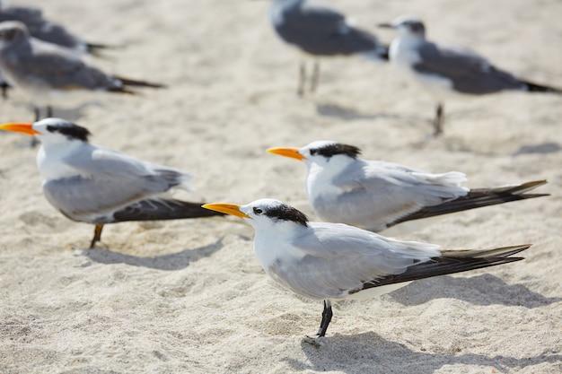 Royal caspian terns sea birds in miami florida Premium Photo