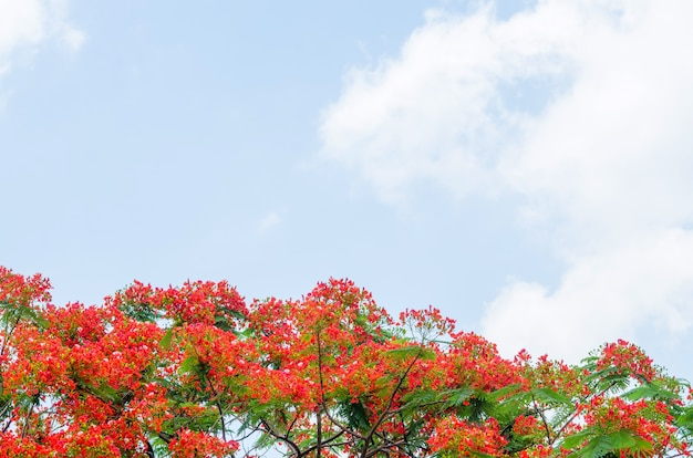 Royal poinciana tree Free Photo