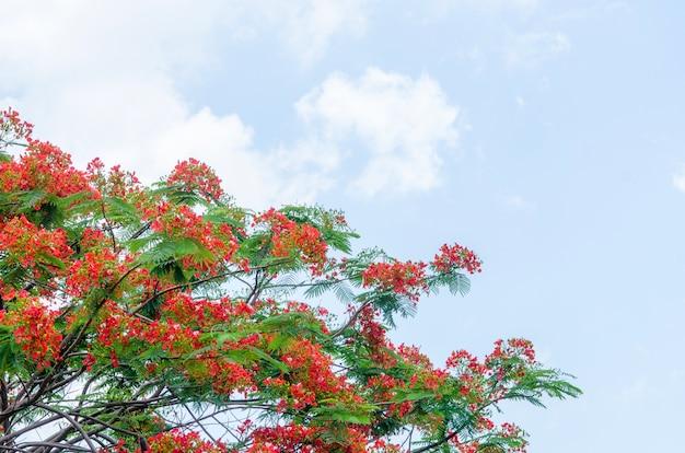 Royal poinciana tree Free Photo