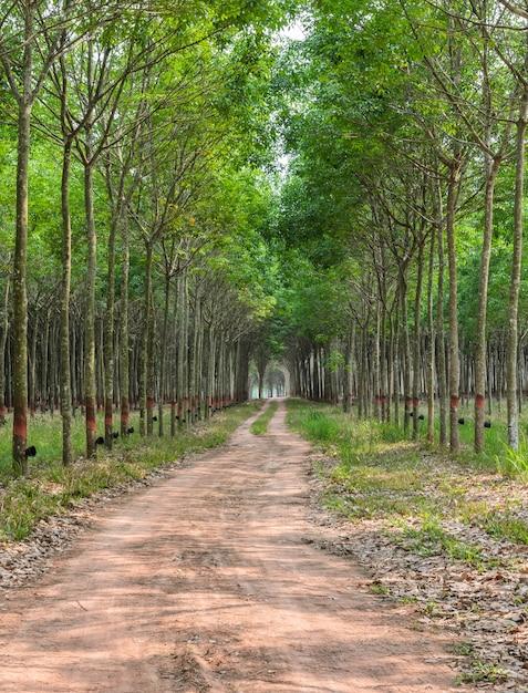 Rubber tree plantation in thailand Premium Photo