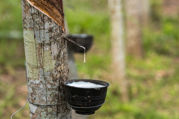 Rubber tree with natural rubber drop at plantation Premium Photo