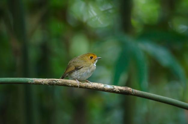 Rufous-browed flycatcher(ficedula solitaris)、ブランチ Premium写真