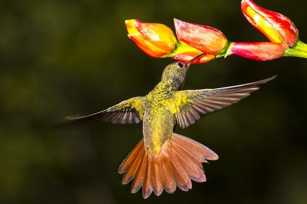 ハイバラエメラルドハチドリ、amazilia tzacatl nectaring 無料写真