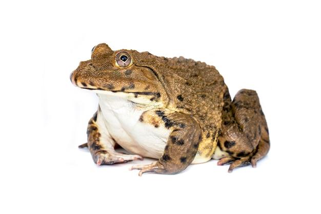 Изображение китайской съедобной лягушки, восточно-азиатской лягушки-быка, тайваньской лягушки (ruglosus hoplobatrachus) изолированной на белой предпосылке. амфибия. animal. Premium Фотографии