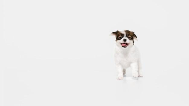 ランニング。パピヨン倒れた小さな犬がポーズをとっています。白いスタジオの背景で遊ぶかわいい遊び心のあるブラウン犬やペット。動き、行動、動き、ペットの愛の概念。幸せ、喜び、おかしいように見えます。 無料写真