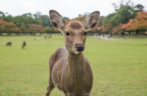 Sacred sika deers nara park forest, japan Premium Photo