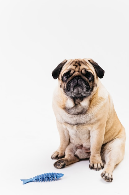 Sad chubby pug dog and blue dent-a-chew fishbone Free Photo