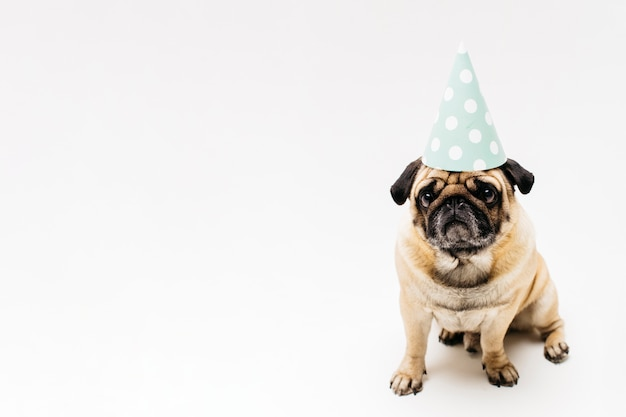 Sad cute compact pug in party hat Free Photo