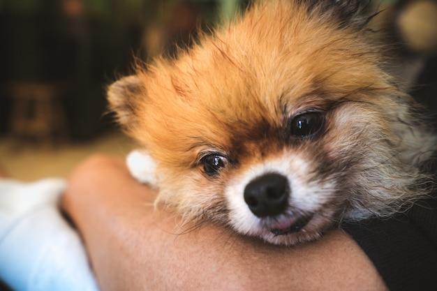 Resultado de imagen para Pomeranian and owner hug