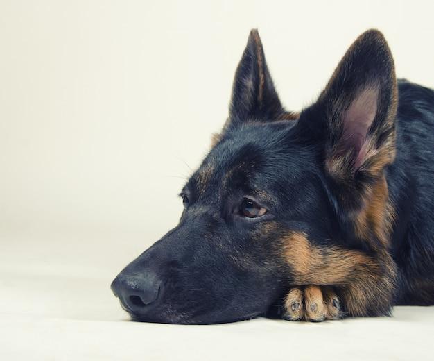 Sad german shepherd Premium Photo