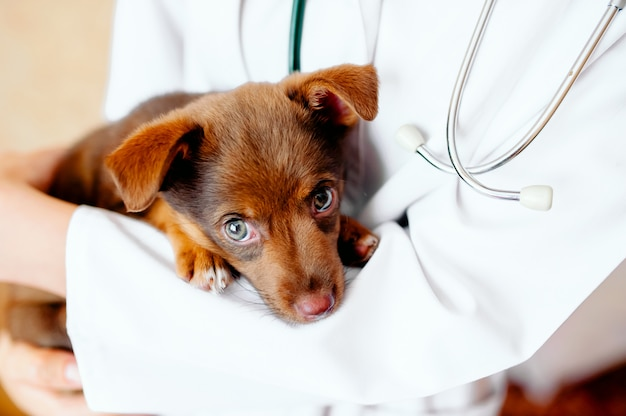 Sad labrador puppy dog at the veterinary doctor Premium Photo