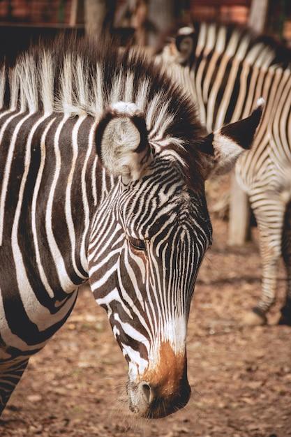 Sad looking zebra Premium Photo