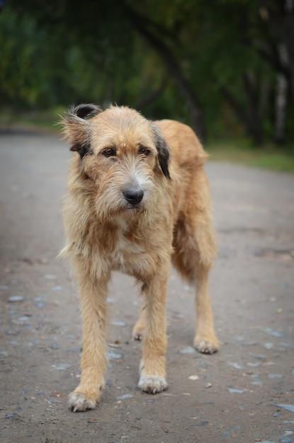 The sad old stray dog Premium Photo