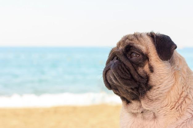 Sad pug dog sits on the beach and looks at the sea. Premium Photo