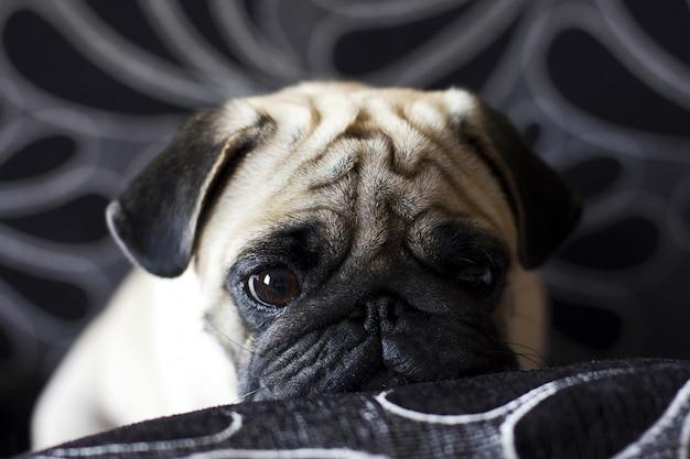 悲しい子犬のパグ Premium写真