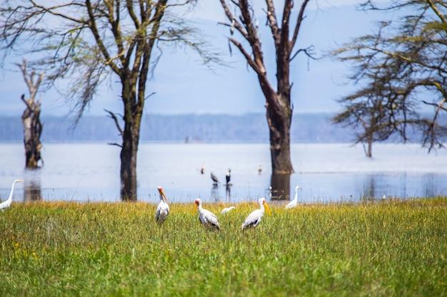 アフリカ、ケニアのナクル国立公園にある車でのサファリ。ナクル湖の素敵な鳥 Premium写真