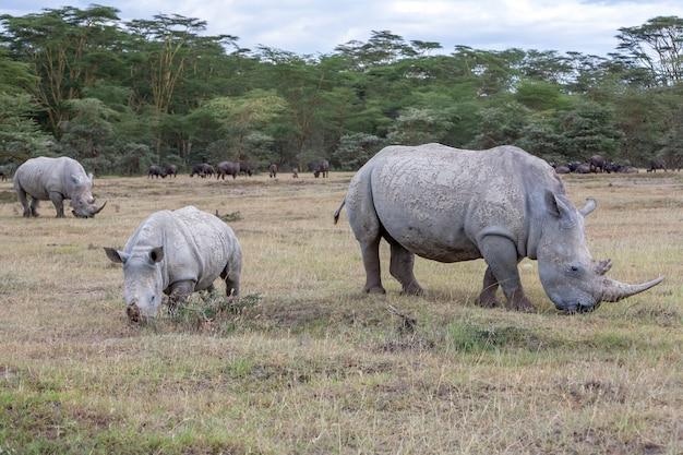 Safari - rhinos on the grass Free Photo
