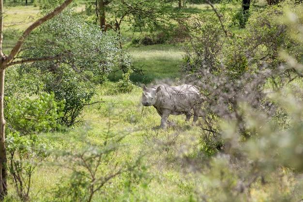 サファリ。サバンナの背景にシロサイ 無料写真