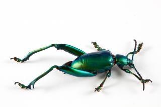 Sagra femorata scarabeo insetto Foto Gratuite