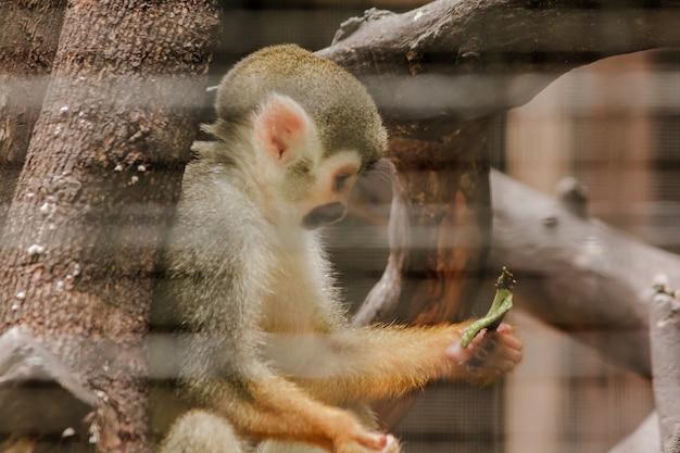 Saimiri sciureus in a cage is a small monkey found in south america. Premium Photo